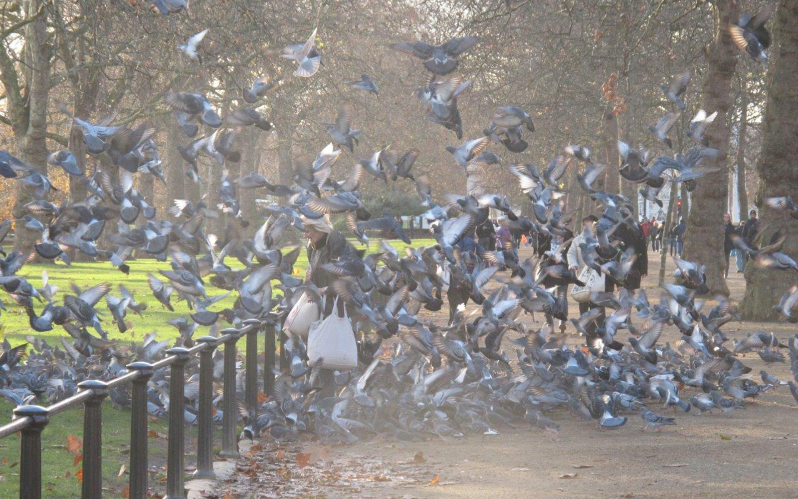 London Pigeons In St Jame S Park
